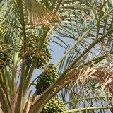 pokok kurma